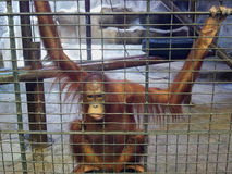 stock image of  sad ape or monkey is in the cage. animal abuse, neglect and crue