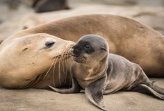 stock image of  sea lion pup and mom giving a kiss