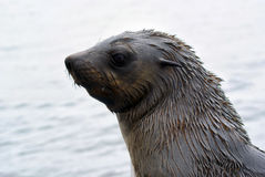 stock image of  seal in namibia