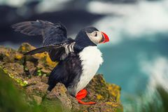 stock image of  single atlantic puffin