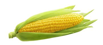 stock image of  single ear of corn isolated on white background