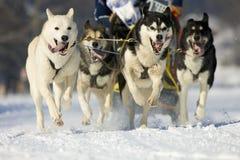 stock image of  sleddog race