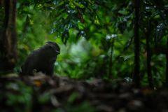 stock image of  small cute baby macaque sitting on ground in rainforest. close up portrait. endemic black crested macaque or the black ape. unique