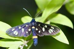 stock image of  spot moth
