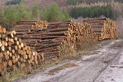 stock image of  stacked wood chopped trees trunks pile in forest woodland wilderness for biomass fuel chp