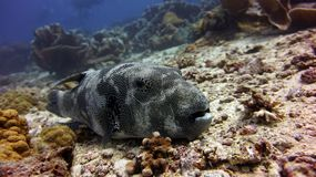 stock image of  star puffer