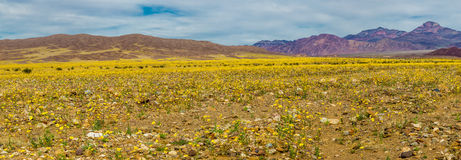 stock image of  super bloom
