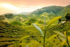 stock image of  tea garden