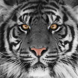 stock image of  tiger head