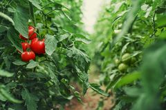 stock image of  tomatoes in a greenhouse. horticulture. vegetables