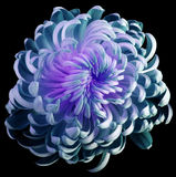 stock image of  flower turquoise-violet chrysanthemum. motley garden flower. black isolated background with clipping path no shadows. closeup.