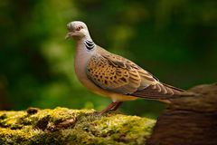 stock image of  turtle dove, streptopelia turtur, pigeon forest bird in the nature habitat, green background, germany. wildlife scene from green f