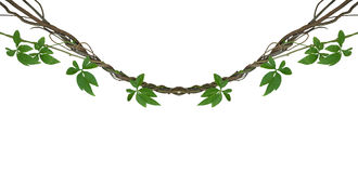 stock image of  twisted jungle vines with green leaves of wild morning glory liana plant isolated on white background, clipping path included.