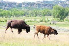 stock image of  two bison