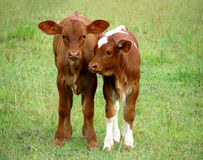 stock image of  two calves