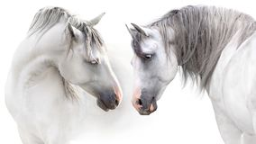 stock image of  couple of two white horse