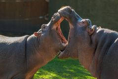 stock image of  two	hippopotamuses with open mouths whose mouth is bigger. small hippopotamuses fight. animal care. funny vegetarian wild animals