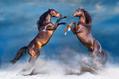 stock image of  two horse rearing up