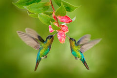stock image of  two hummingbird bird with pink flower. hummingbirds fiery-throated hummingbird, flying next to beautiful bloom flower, savegre, co