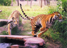 stock image of  two tigers