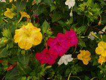 stock image of  variety of four o`clock marvel of peru flowers in full bloom