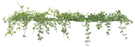 stock image of  vine leaves, ivy plant isolated on white background, clipping path