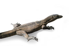 stock image of  water monitor