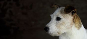 stock image of  head of white and brown jack russell dog with copy space