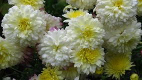 stock image of  white flowers that bloom in august, september, autumn. two-toned white and yellow chrysanthemums.