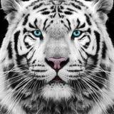 stock image of  white tiger