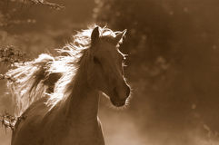 stock image of  white wild horse