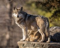 stock image of  wolf pack leader scans the horizon at brookfield zoo