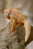 stock image of  yellow mongoose, cynictis penicillata, sitting on the tree trunk.