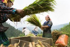 stock image of  yen bai, vietnam - sep 17, 2016: vietnamese ethnic minority woman threshing paddy on terraced field in harvesting time in mu cang