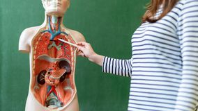 stock image of  young female teacher in biology class, teaching human body anatomy, using artificial body model to explain internal organs.