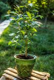stock image of  young orange tree in the garden. horticulture and hobbies.