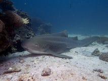 stock image of  zebra shark