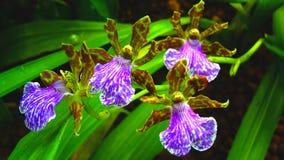 tańczące orchidee Zdjęcia Royalty Free