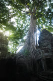 Ta在树盖的prohm寺庙根源吴哥窟柬埔寨 免版税库存图片