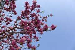 Ta av magnoliablomman Royaltyfria Bilder