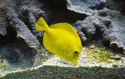 Żółta blaszecznica & x28; Zebrasoma Flavescens& x29; Fotografia Royalty Free