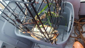 Ta bort Dungeness krabbor från fälla stock video