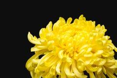 Żółta chryzantema w czarnym tle Fotografia Royalty Free