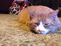 Ta en katt ta sig en tupplur Royaltyfria Bilder