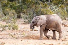 Ta en promenad - afrikanBush elefant Fotografering för Bildbyråer