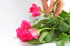 Ta en ros Royaltyfria Foton