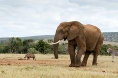 Ta ett foto av mig den afrikanska Bush elefanten Arkivfoton