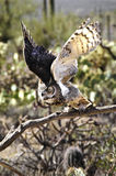 ta för horned owl för flyg stort Royaltyfri Foto