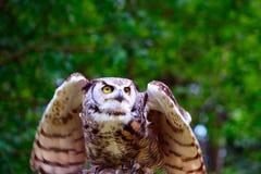 ta för horned owl för flyg stort arkivbilder