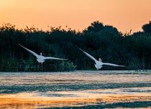 Ta för pelikan av på soluppgång i Donaudeltan, Rumänien royaltyfri foto